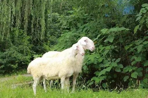 日本人为何不吃羊肉?这里有什么历史渊源?