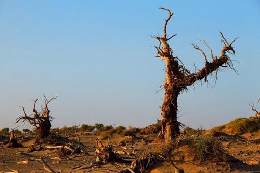 额济纳黑水城怪树林是怎样的?一组黑水城怪树林照片