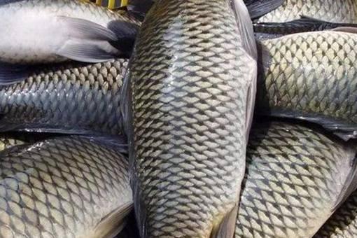 古代渔民是如何保证鱼新鲜的?弓鱼技术是什么?