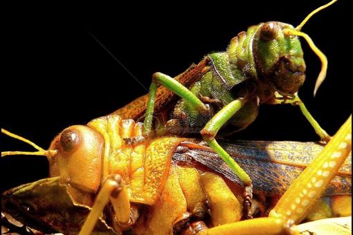 李世民真的生吞活吃过蝗虫?古代治理蝗虫真的只能靠吃吗?