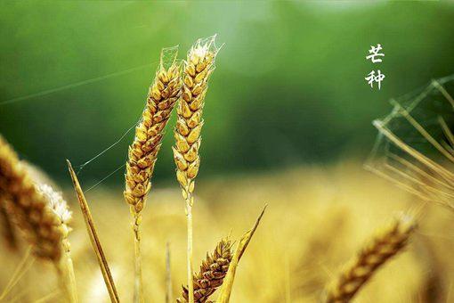 芒种是什么意思?芒种季节的养生食疗介绍