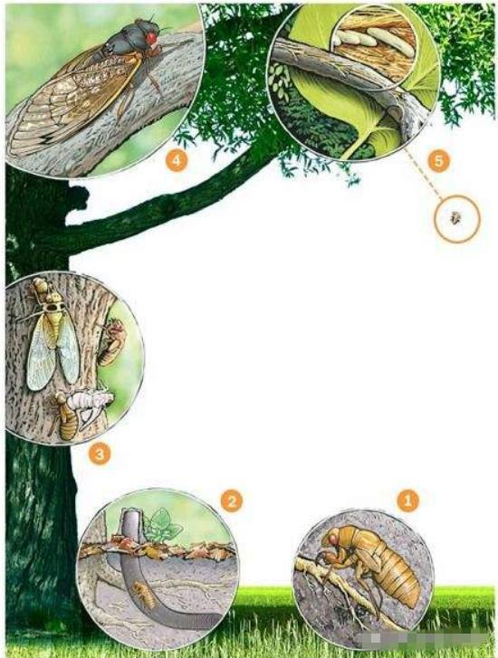 古人对蝉的理解是怎样的?中国古人为什么喜欢蝉?
