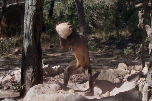 巴拿马猴子进入石器时代是怎么回事 地球即将出现第二个文明吗