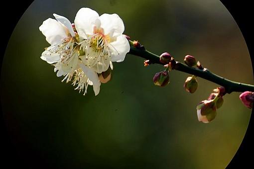 暗香是什么花