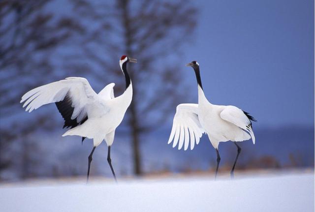 中国国鸟是什么 中国国鸟是啥鸟